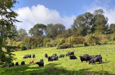 Zwarte koeien grazen in de buurt van het dorp Cotswold van Compton Scorpion, Gloucestershire, Engeland Stockfoto