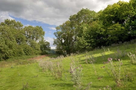 english oak: English countryside with oak trees and thistles, Gloucestershire, England
