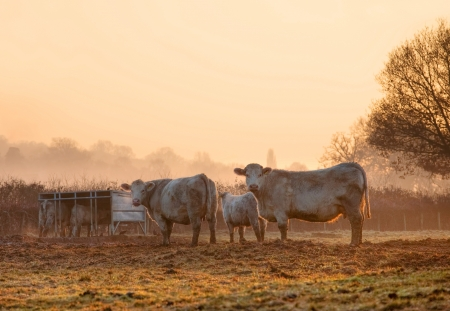 Cattle on a winters morning, Weston subedge near Chipping Campden, Gloucestershire, England. Stockfoto