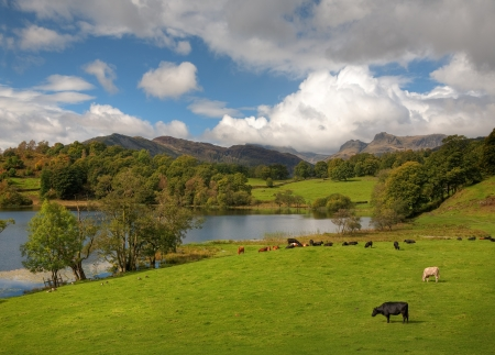 Beautiful Loughrigg Tarn with grazing cows and geese by the waters edge, Cumbria, England. Stock Photo - 24739155