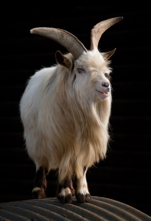 White goat with long horns standing on a corrugated roof against a black background. Stockfoto