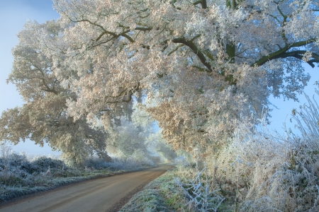 chipping: Hoar frost on oak trees near Chipping Campden, Gloucestershire, England.