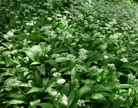 Ramsons in flower. Also known as wild garlic, buckrams and wood garlic. photo