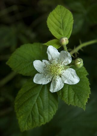 bramble: Close-up view of blackberry flower, Worcestershire, England. Stock Photo