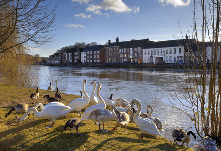 Swans and geese on the bank of the River Severn, Bewdley, Worcestershire, England