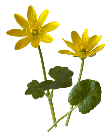 macbeth: Lesser Celandine wild flower cut-out against a white background  Stock Photo
