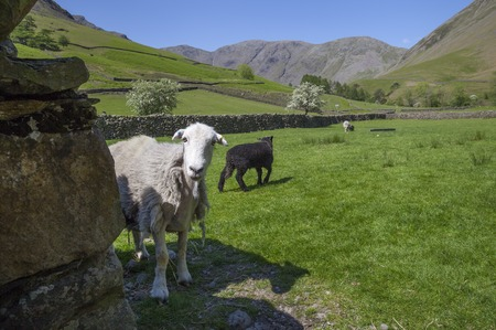 cumbria: Sheep at Wasdale Head, Wast Water, Lake District, Cumbria, England