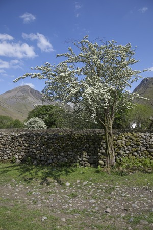 lake district: Hawthorn Tree, Wasdale Head, Wast Water, Lake District, Cumbria, England
