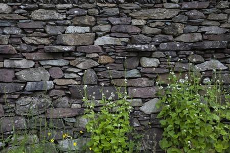 british isles: Cumbrian stone wall background with Hedge Garlic