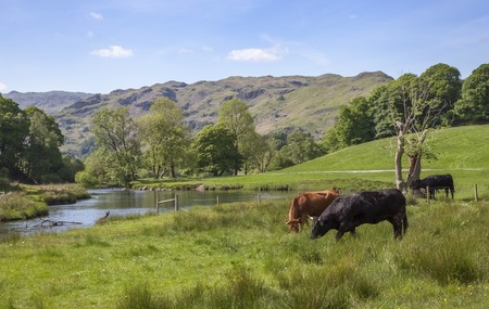 lake district: Cattle at Elterwater, The Lake District, Cumbria, England