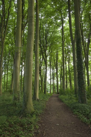 Cotswold Beech wood, Gloucestershire, Engeland.