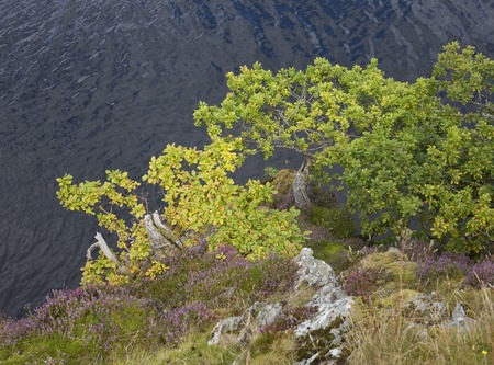 cumbria: Oak and heather growing on the side of Ullswater, the Lake District, Cumbria, England. Stock Photo