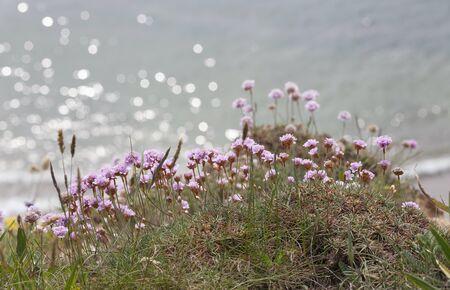 Coastal wild flowers growing near Hope Cove, Devon, England.