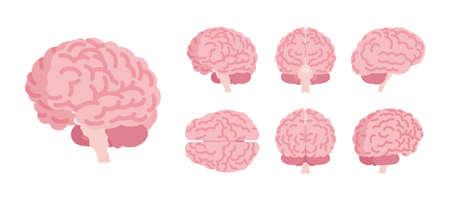 Human brain set for anatomical study, medical, scientific classroom model