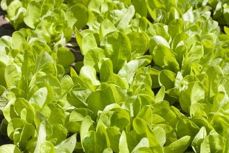 Lettuce Bed in vegetable garden