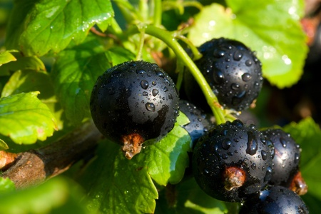 Bunch of blackcurrants with water drops photo