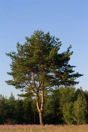 pine in a forest and sky