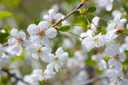 white flowers cherry blossom of spring Stock Photo