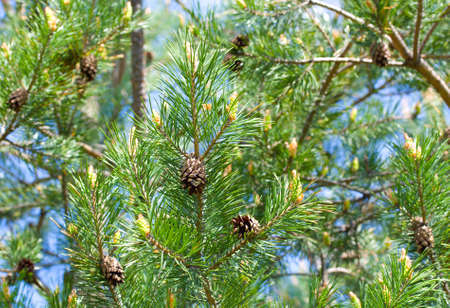 Pine branch with flowers and old cones