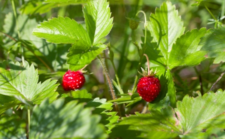 Wild strawberry with berries in forest Stock Photo