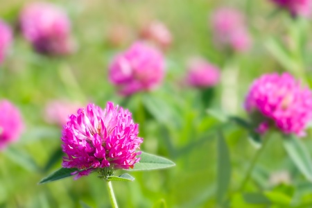 flowers of red clover in the field photo
