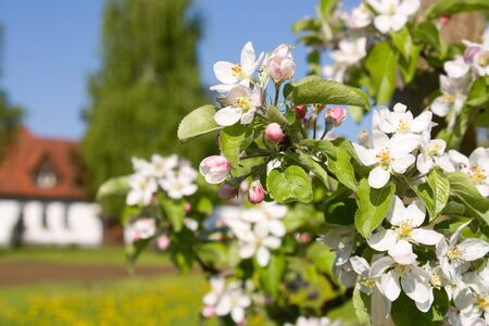 Blossoming apple-tree on a background of the house Stock Photo