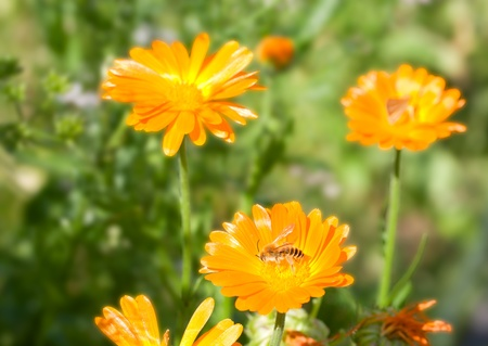 calendula with a bee sitting on a flower Stock Photo