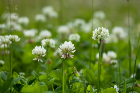 Clover with white flowers trifolium repens Stock Photo