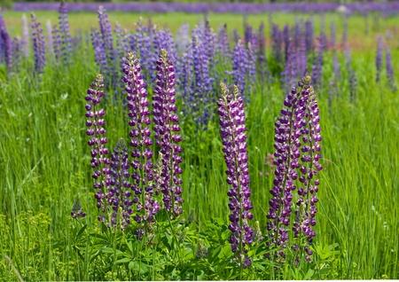 wild lupine flowers on meadow Stock Photo