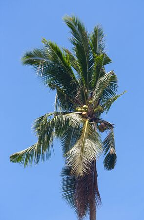 Coconut tree, palm tree with ripe coconuts