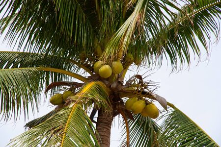ripe fruit hanging on the coconut tree