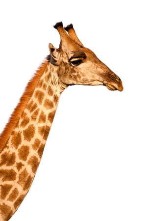 African Giraffe Giraffa camelopardalis isolated on white background photo