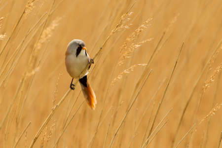 aves: Bearded Reedling Panurus biarmicus also know as a Bearded Tit perched on a reed stem in a reed bed, North Norfolk, UK