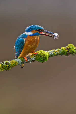 Photo of a Common Kingfisher  Alcedo atthis  adult male perched with a minnow in its beak photo