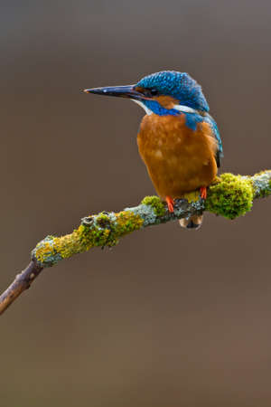 common kingfisher: Photo of a common Kingfisher Alcedo atthis adult male perched on a moss covered branch Stock Photo