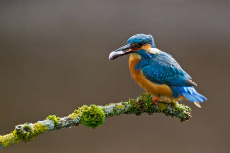 common kingfisher: Photo of a Common Kingfisher  Alcedo atthis  adult male perched with a minnow in its beak Stock Photo