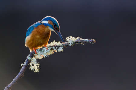 common kingfisher: Photo of a Common Kingfisher  Alcedo atthis  adult male perched on a lichen covered branch
