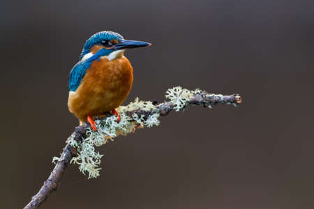 alcedo: Photo of a Common Kingfisher  Alcedo atthis  adult male perched on a lichen covered branch