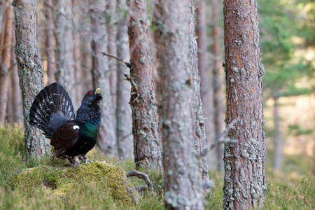 tail fan: Photo of an adult male Capercaillie displaying in a forest in the Scottish highlands. Largest member of the grouse family.