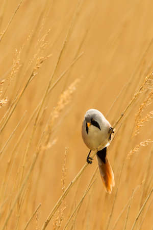 birdlife: Photo of a male Bearded Reedling  Panurus biarmicus  also know as a Bearded Tit perched on a reed stem in a reed bed  Copy space  Stock Photo