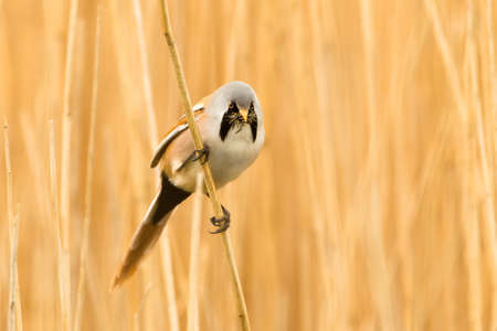 birdlife: Photo of a male Bearded Reedling  Panurus biarmicus  also know as a Bearded Tit perched on a reed stem in a reed bed with insects in its beak