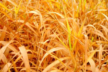 Yello sunny grass field, Russia, Pskov district photo
