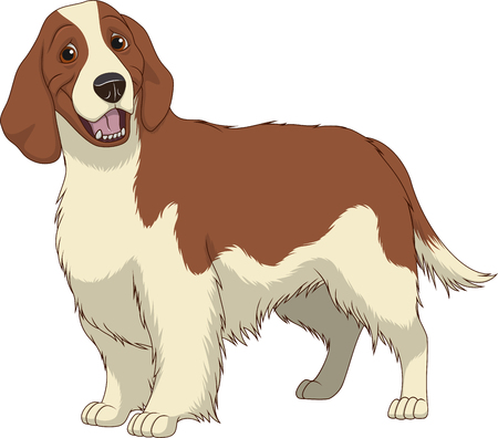 Vector illustration, funny purebred dog, Springer Spaniel, on a white background