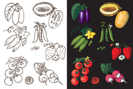 black berry: illustration on white and black background, vegetable, berry and melon color and line