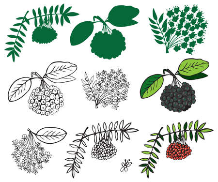 sorb: illustration on a white background and silhouette of black and red ashberry Illustration