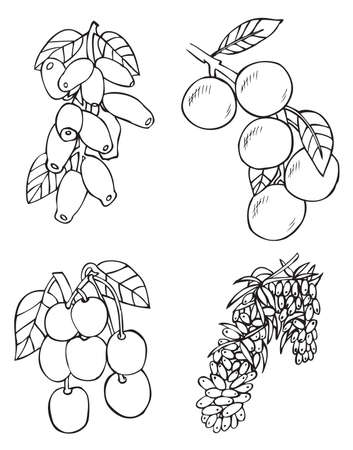 honeysuckle: illustration on white background fruits and berries: sea buckthorn, honeysuckle, cherry, apricot Illustration