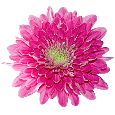 Beautiful pink chrysanthemum isolated on a white background 스톡 콘텐츠