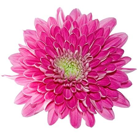 Beautiful pink chrysanthemum isolated on a white background Stockfoto