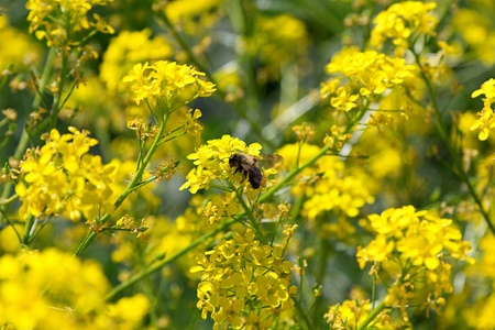The bee, the yellow flowers are pollinated in the meadow