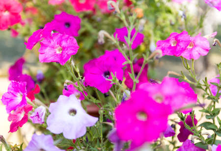 Many colors of petunia. Flower bed Stock Photo